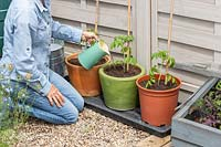 Woman using a jug to give equal measures of water to newly-planted Tomato plants in different pots: terracotta, glazed and plastic