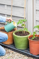 Using a jug to give equal measures of water to newly-planted Tomato plants in different pots: terracotta, glazed and plastic