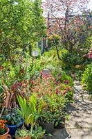 View of a long narrow town garden in Cambridge. Serpentine path, old apple tree, Cercis canadensis 'Forest Pansy', erysimum, ceanothus, phormiums, lilies, irises, fig tree.