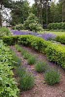 Buxus hedging and newly planted lavender at the start of the Rose Walk.