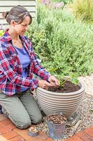Woman sowing Calendula seeds beside a Courgette plant in a planter