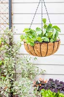 Hanging basket planted with Strawberry and Nasturtium