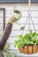 Watering a hanging basket planted with Strawberry and Nasturtium