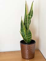 Sansevieria trifasciata - mother in laws tongue