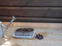 Planting bean seeds using plastic tray from the kitchen.