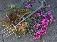 Create new plants from old - Dianthus cuttings -  scented pinks -  Woody stems in old plant.