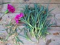 Create new plants from old - Dianthus cuttings - scented pinks