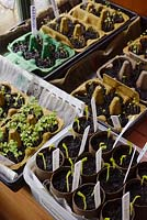Young Pea and Lettuce seedlings growing indoors in recycled egg boxes and toilet rolls