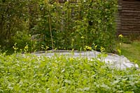 Caliente Mustard, green manure and biofumigant, crop growing on a vegetable plot