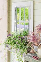 Wicker window box planted with Lavender 'Fantasia Early Purple', Salvia 'Victoria White', Euphobia hypericufolia 'Diamond Frost and Ivy hung next to mirrored window frame