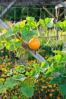 Pumpkin climbing against wire netting supports