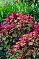 Solenostemon scutellarioides 'Balcenna' - A Coleus Henna, growing in a tropical style garden.