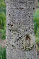 Cedrus libani - Cedar of Lebanon - detail of bark on trunk