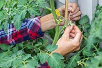 Woman using twine to tie tomato stem to bamboo stick for support.