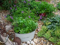 Old container planted with wildflowers placed in corner of garden.  Wild radish - Raphanus raphanistrum, Wild Tansy,  Phacelia tanacetifolia mallow - marigold.