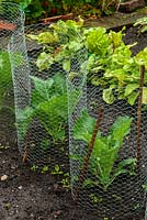 Wire netting protection around brassicas - Open Gardens Day, Double Street, Framlingham, Suffolk