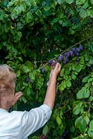 Woman picking wild Plums from hedgerow