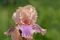 Iris 'Colette Thurillet' - Tall bearded iris in May
