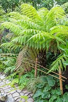 Simple bamboo fence along path with Dicksonia - Tree fern
