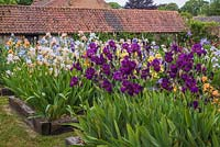 Iris beds with Iris 'Teesdale' in foreground and Iris 'Dotterel' -  English Iris Company, Norfolk