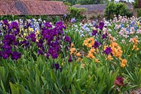Iris beds with Iris 'Teesdale' in foreground and Iris 'William of Orange'-  English Iris Company, Norfolk