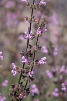 Salvia recognita x officinalis 'Southern Belle'