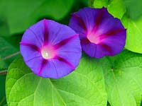 Ipomoea tricolor - Morning Glory