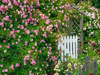 Rosa 'Rural England' arch with gate
