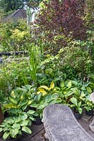 Woodland, shady border with Hosta varieties and Acer - Japanese maple.