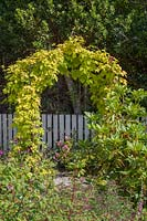 Metal archway planted with Humulus lupulus 'Aureus' and Clematis 'Madame Julia Correvon'.
