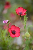 Linum grandiflorum - Flowering flax