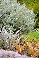 Foliage planting of Carex distans, silvery Astelia nervosa and Salix helvetica.