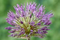 Allium 'Powder Puff' - Ornamental onion 'Powder Puff' flower
