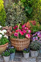Basket of Ranunculus 'Magic', surrounded by violas, pulmonaria, box and pittosporum.