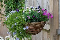 Spring hanging basket planted with tumbling Phlox subulata 'Emerald Cushion Blue', pink Phlox subulata 'McDaniel's Cushion', Dianthus 'Pink Kisses', Bellis perennis, and Viola 'Denim'.
