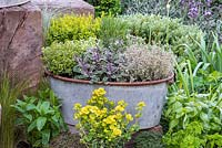 Herb planter with Oregano 'Country Cream', Thyme 'Lemon Variegated', Sage 'Tricolour', Thyme 'Silver Queen' and central Rosemary. Edged in pots of mint, Thyme, golden oregano, Parsley and Basil.