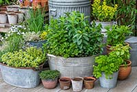 Old tin washtub planted with 6 varieties of mint