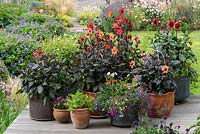 Raised on a deck, copper and terracotta containers planted with single, dark-leaved Dahlias 'Schipper's Bronze', 'Sarah Raven' and 'Happy Single Kiss'. Salvias, Petunias, Lobelia and Gazanias in smaller pots in front.