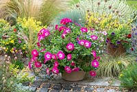 Terracotta pot planted with Petunia 'Trailing Rose Morn', mixed trailing Lobelia and Geranium. With antique chimney pots planted with Calibrachoa 'Cabaret Tropicana'