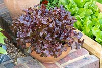Terracotta bowl planted with Lactuca sativa 'Red Salad Bowl' - Lettuce