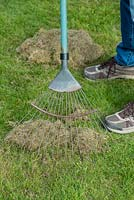 Scarifying lawn with a wire rake to remove moss and dead grass