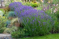 Lavandula angustifolia 'Hidcote' interplanted with ornamental grasses, succulents and Alchemilla.