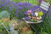 A trug of cut flowers and bunches of lavender rest on an old slatted chair, placed beside a hedge of Lavandula angustifolia 'Hidcote' in a border interplanted with ornamental grasses, succulents and Alchemilla.