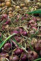 A crop of onions drying in late summer - foreground Allium cepa 'Red Brunswick' and Allium cepa 'Golden Bear' AGM