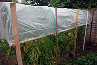 Using a raised cloche to protect Solanum lycopersicum - Tomatoes from summer rain and late blight fungal disease -  Phytophthora infestans