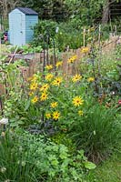 Border of ornamental plants including Rudbeckia in allotment