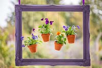 Purple painted picture frame with pots of Violas