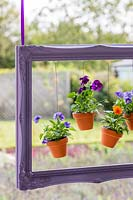 Painted purple picture frame with suspended pots of Violas