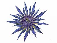 Eryngium tripartitum - Sea Holly - flower and bracts