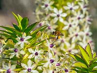 Honey bee in flight with Eucomis comosa 'Cornwood' - Pineapple Lily